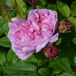 Rosa 'Jacques Cartier' (Shrub) 4L