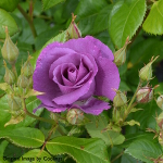 Rosa 'Rhapsody In Blue' (Standard) 10L