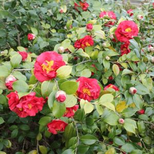 Camellia japonica 'Blood of China' 3L