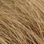 Carex comans 'Bronze' 2L