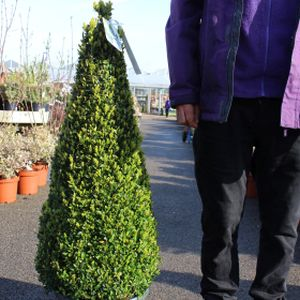 Buxus sempervirens Pyramid
