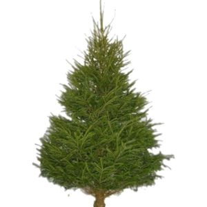 Cut Norway Spruce 120cm+ (4ft)