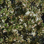Luma apiculata 'Glanleam Gold' 3L