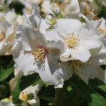 Philadelphus 'Beauclerk' (AGM) 3L