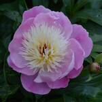 Paeonia lactiflora 'Bowl of Beauty' (AGM) 3L