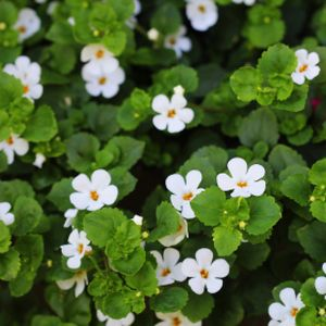 Bacopa White 1L