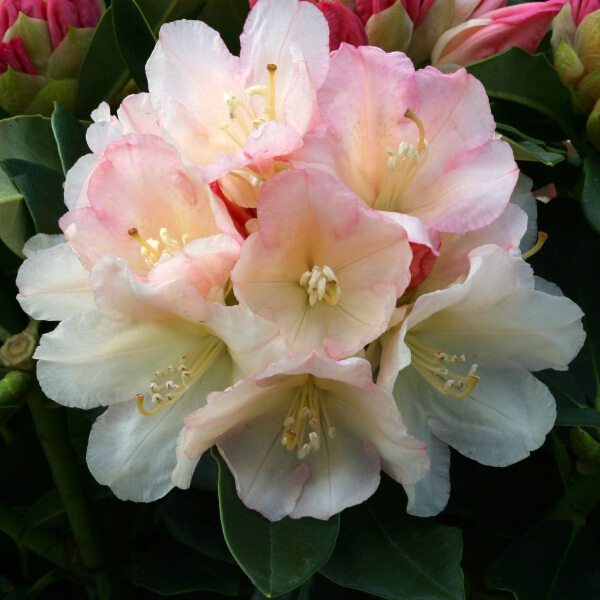 Rhododendron 'Golden Torch' (AGM) (Yak. Hybrid) 3L