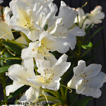 Rhododendron 'Silver Sixpence' (Yak. Hybrid) 3L
