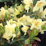 Rhododendron 'Swift' (Dwarf) 3L