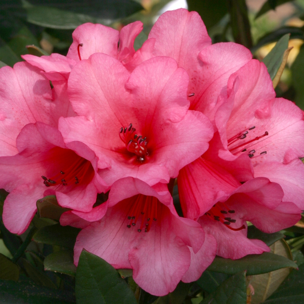 Rhododendron 'Winsome' (AGM) (Dwarf) 3L