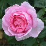 Rosa 'Mum in a Million' (Hybrid Tea) 5L