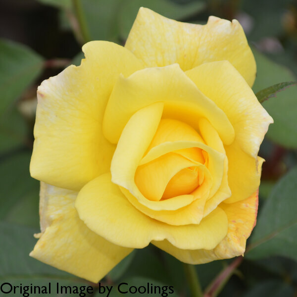 Rosa 'Sweet Remembrance' (Hybrid Tea) 4L