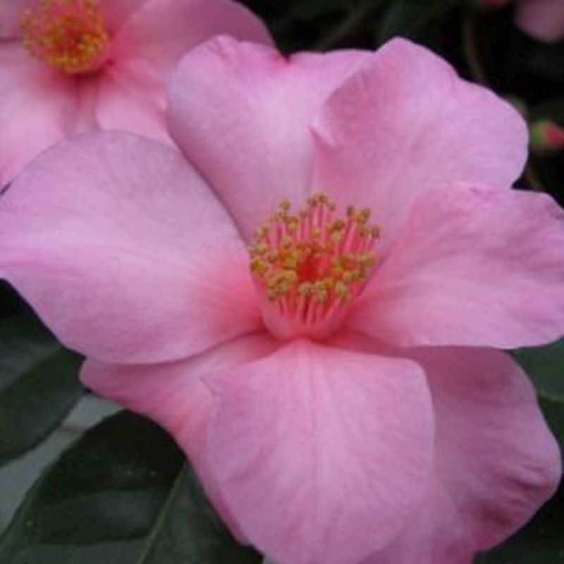 Camellia 'Crimson Candles'  3L