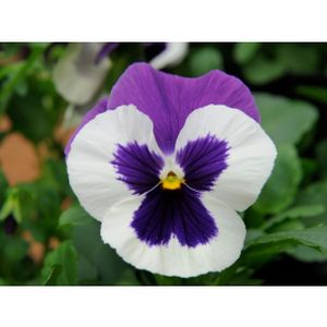 Pansy Violet Face Multi-Pack