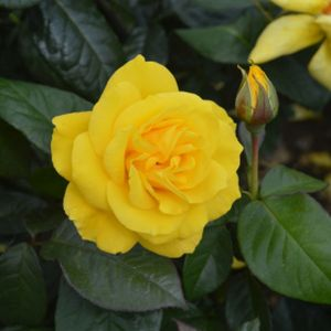 Rosa 'Golden Wedding' (Standard) 10L