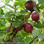 Gooseberry Ribes 'Hinnonmaki Red' 3L