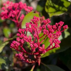 Photinia x fraseri 'Red Robin' (AGM) 1/2 Std 15L
