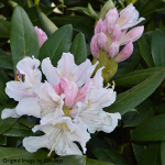 Rhododendron 'Cunningham's White' (Hybrid) 7.5L