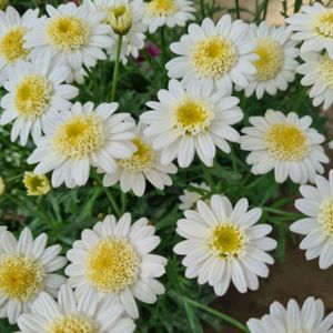Argyranthemum Double White Marguerite frutescens 1L