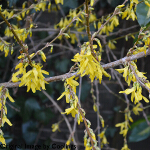 Forsythia x intermedia 'Lynwood Variety' (AGM) 3L