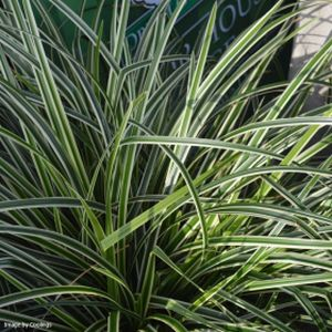Carex 'Ice Dance' 2L