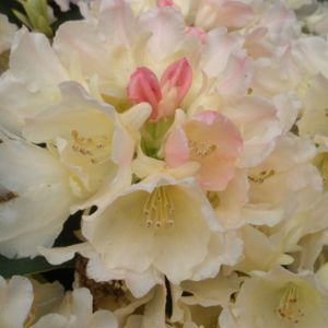 Rhododendron 'Golden Torch' (AGM) (Yak. Hybrid) 10L