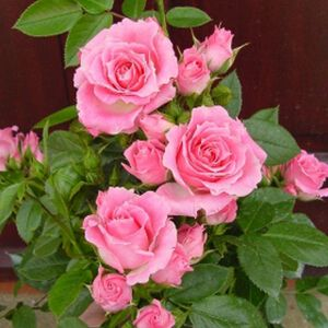Rosa 'Carefree Days' (Patio) 3L