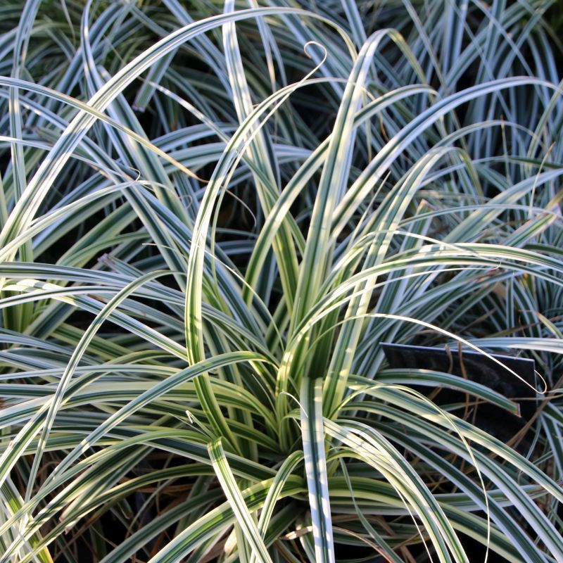 Carex oshimensis 'Everest' 3L