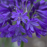 Agapanthus 'Northern Star' 2L