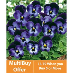 Viola F1 Blue White Face 6 Pack