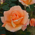 Rosa 'Special Occasion' (Hybrid Tea) 4L