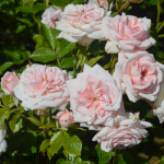 Rosa 'Special Friend' (Miniature Patio) 5L