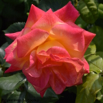 Rosa 'Joseph's Coat' (Shrub) 5L