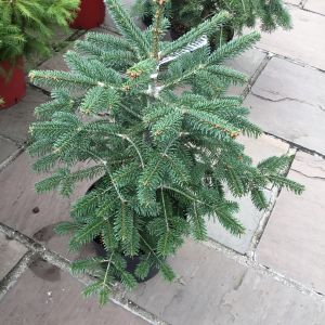 Nordmann Fir (Abies) (Pot Grown) 7.5L 50-60cm