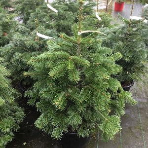 Nordmann Fir (Abies) (Pot Grown) 10L 70-80cm