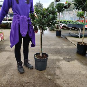 Bay Tree Laurus nobilis (AGM) 1/2 Std £74.99