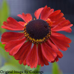 Helenium 'Red Army' 2L
