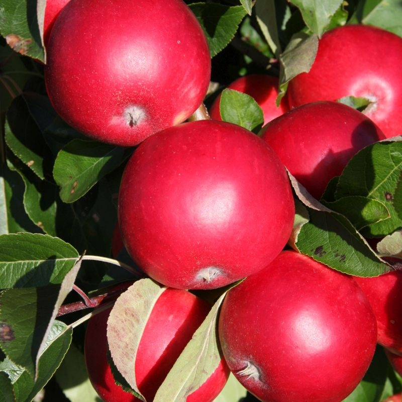 Apple Malus 'Scrumptious' (MM106) Bush 15L