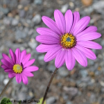 Osteospermum 'In the Pink' 2L