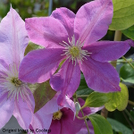 Clematis 'Alaina' (syn 'Evipo 056') 3L
