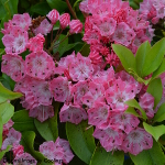 Kalmia latifolia 'Olympic Wedding' 4L
