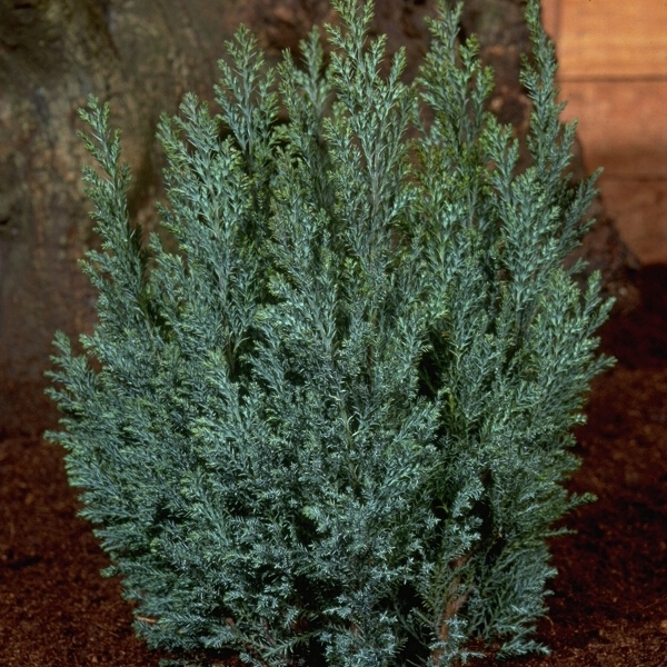 Chamaecyparis lawsoniana 'Ellwood's Blue' 1L