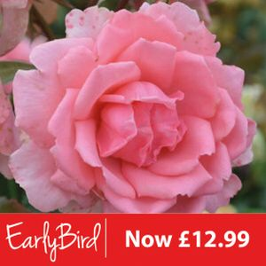 Rosa 'You're Beautiful' (Floribunda) 5L
