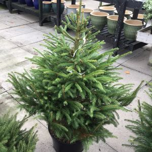 Norway Spruce (Pot Grown) 80-90 12L