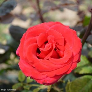 Rosa 'Happy Ruby Wedding' (Hybrid Tea) 5L