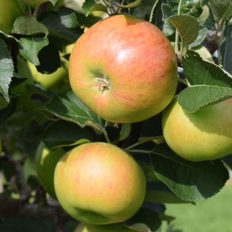 Apple Malus 'Bramley 20' (MM106) Bush 12L