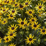 Rudbeckia fulgida 'Little Goldstar' 2L