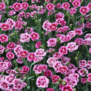 Dianthus 'Pink Kisses' 1L
