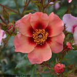 Rosa 'For Your Eyes Only' (Shrub) 4L