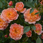 Rosa 'Fond Memories' (Miniature Patio) 5L